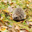 Hedgehog in the autumn forest crawling through old grass — Stock Photo