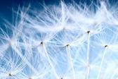 Sullo sfondo di tarassaco. foto a macroistruzione del tarassaco semi sopra sk blu chiaro — Foto Stock