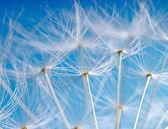 The Dandelion. Macro photo of light seeds over light blue background. — Stock Photo