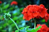 Krásné růžové květy---muškáty — Stock fotografie