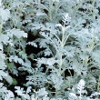 Stock Photo: Cinerarimaritim(Senecio bicolor)