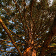 Stock Photo: Redwood treetop