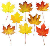 Fall Maple Leaf Collage — Stock Photo