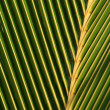 Palm Leaf Macro — Stock Photo