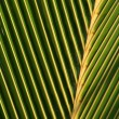 Stock Photo: Palm Leaf Macro