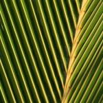 Palm Leaf Macro — Stock Photo