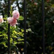 Pink Roses and Iron Bars — Stock Photo #8301597
