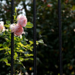 Stock Photo: Pink Roses and Iron Bars
