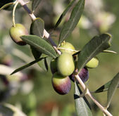 Olive Cluster — Stock Photo