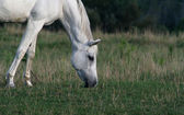 Peaceful Arabian Horse — Stock Photo