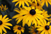 Black-eyed susan fiore — Foto Stock