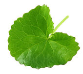 Herbal Thankuni leaf — Stockfoto
