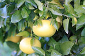 White grapefruit on the branch of the tree — Stock Photo
