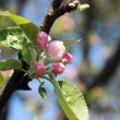 Stock Photo: Buds of flowers on apple tree