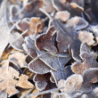 Frost Covered Oak Leaves — Stock Photo