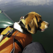 Beagle Dog in Canoe — Stock Photo