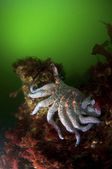 Zonnebloem sea star — Stockfoto
