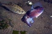 Stubby Squid — Stock Photo