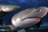 Lemon Shark — Stock Photo