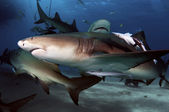 Lemon Shark — Foto Stock