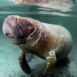 West IndiManatee — Stock Photo #9021210