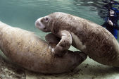 West India Manatee Mating Ritual — Foto Stock