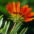 Orange flower over green — Stockfoto