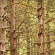 Pine trees trunk background - Stock Photo