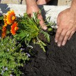 Stock Photo: Planting flowers