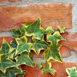 Ivy on brick wall — Photo
