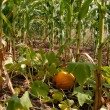 Growing pumpkin in corn - Stock Photo