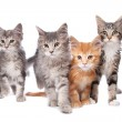 Maine Coon kittens — Stock Photo #10122725