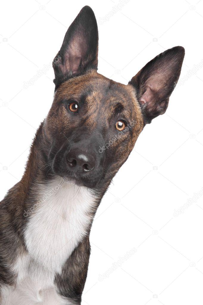 Belgian Shepherd Dog Malinois | Bed Mattress Sale