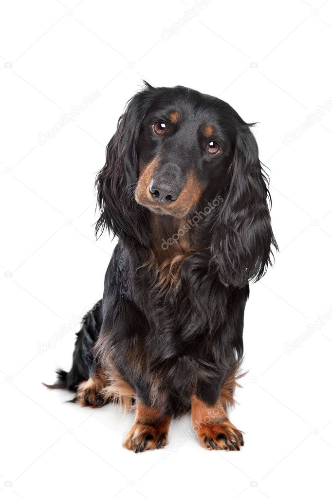 Standard long-haired dachshund in front of a white background — Stock Photo #10384359
