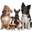 Stock Photo: Group of five dogs