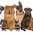 Stock Photo: Group of twelve dogs