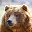 Brown Bear Head — Stock Photo