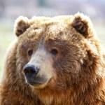 Brown Bear Head — Stock Photo