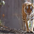 Bengal Tiger at zoo — Stock Photo