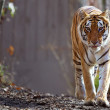 Bengal Tiger at zoo — Stock Photo #9075852