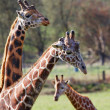 Three Giraffe family narrow DOF — Stock Photo #9076807