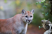 Prowling Mountain Lion — Stock Photo
