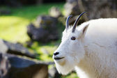 Rocky Mountain Goat — Stock Photo