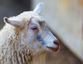 Sheeps Head — Stock Photo