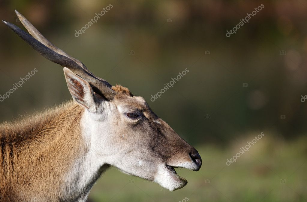 Horned head of an adult black buck antelopez — Stock Photo #9075018