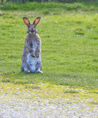 Standing Bunny — Stock Photo