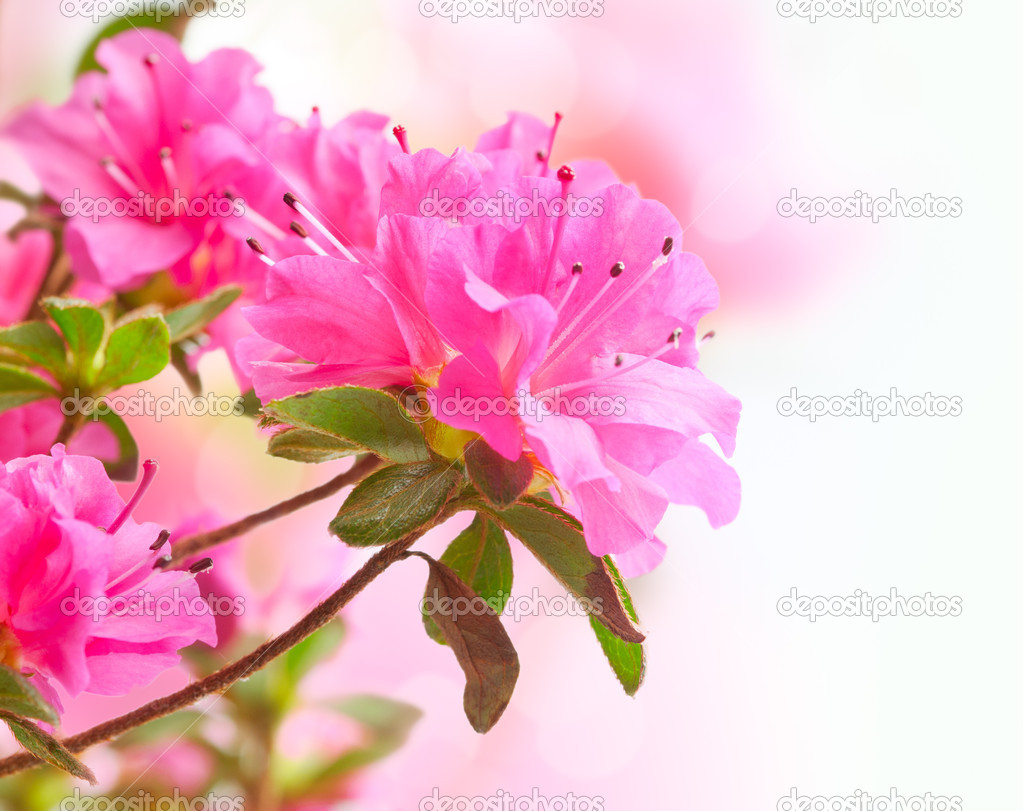 Azalea. Floral art design for invitation card — Stock Photo #9719960