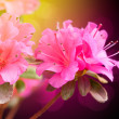 azalea flowers — Stock Photo