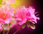 цветы азалии — Стоковое фото