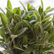 Fresh sage — Stock Photo #8914386